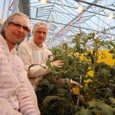 Wyniki doświadczeń pomidorów malinowych w uprawie doświetlanej.